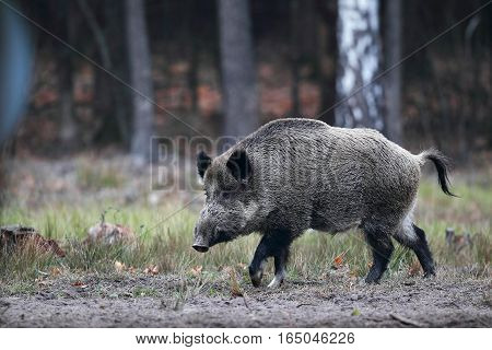 Running wild boar on a grass on a background of autumn forest