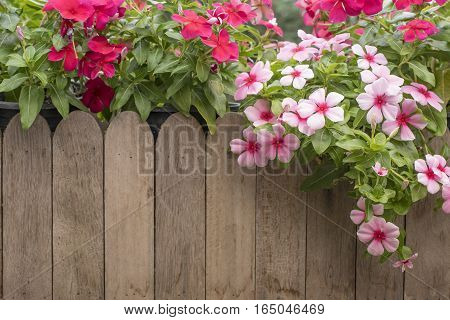 Pink and red periwinkle flowers in the garden, Madagascar periwinkle, Catharanthus roseus, Vinca flower