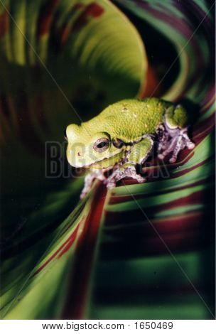 Large Tree Frog6