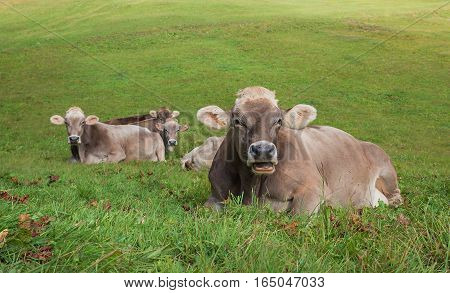 Group Of Relaxing Cows On A Pasture In Switzerland
