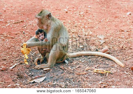ape with baby animal are eating banana on the ground