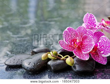 Branch of pink orchids isolated on black background.Pink orchid and black stones.