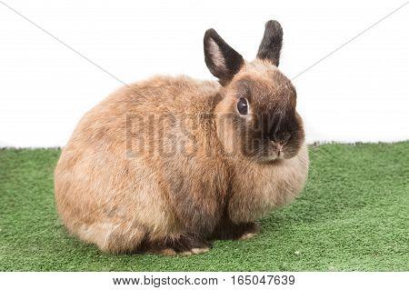 Brown Netherlands Dwarf Rabbit,brown Nd Rabbit On Green Grass