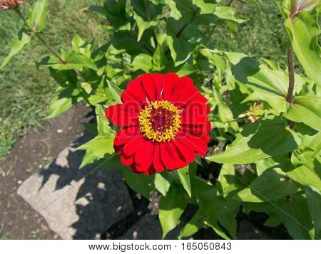 Red with Yellow Center Flower in a park at Westerville Ohio