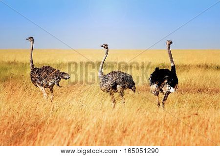 Ostriches in the African savannah. Tanzania. Serengeti national park.