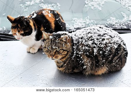 Stray cats in a snowy, cold day