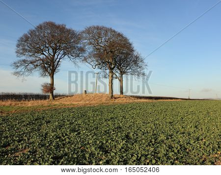 Three Beech trees and a trig point stone on an ancient burial mound or tumulus by a rapeseed field in winter