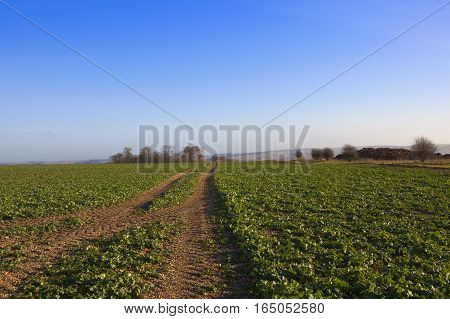 Canola Crop And Manure Heap