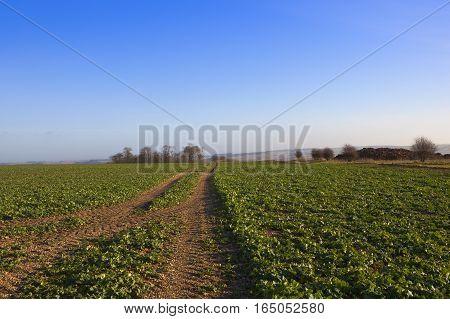 Canola Crop And Manure Heap