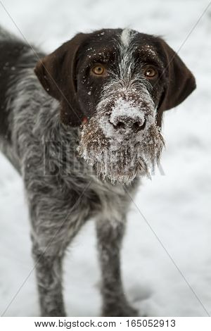 dog muzzle drathaar breed in the snow close-up