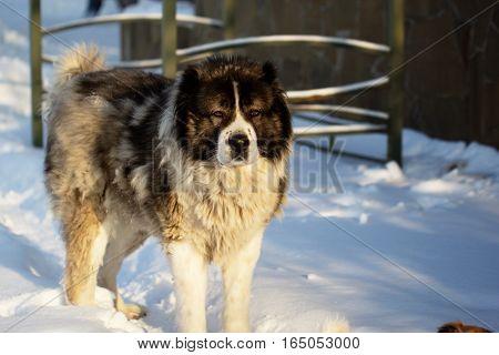 Adult Caucasian Shepherd dog outside on a sunshine winter day
