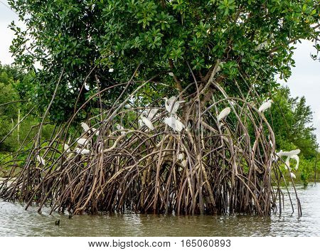 Egrets Nesting in the Mangroves in the Northern Amazon Region of Brazil