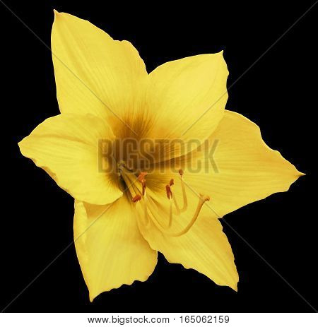 yellow flower black isolated background with clipping path. Closeup. no shadows. Nature. Hippeastrum.
