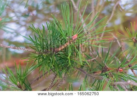 Green spruce branch. Winter spruce forest. The nature of a cold snowy winter in the woods.