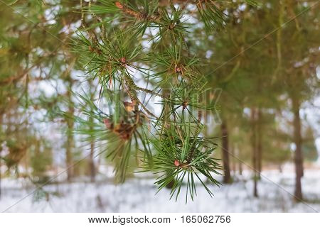 Spruce green branches. Winter spruce forest. The nature of a cold snowy winter in the woods.