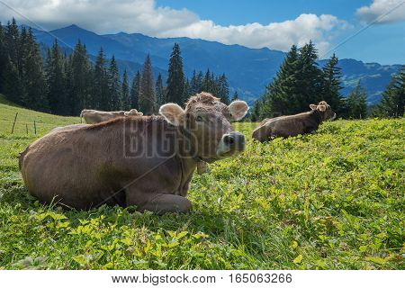 Relaxing Cows On A Pasture In Switzerland