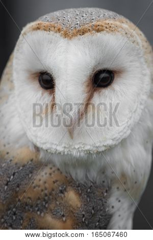 Very close up portrait of a female barn owl staring forward with detailed feathers, eyes and beak