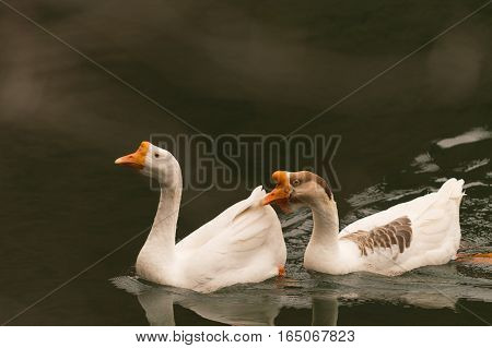 Two geese, one male and one female, swimming together on a lake