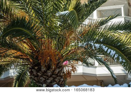 Palm Tree In Snow - Snow In Athens - Rare And Unique Event