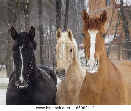 black and white and red horses standing on the snow in a paddock near the white wooden fence