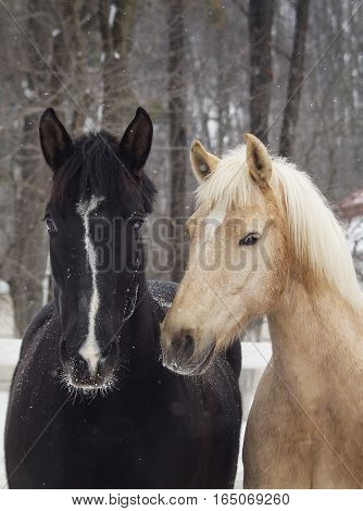 black and white horses standing on the snow in a paddock near the white wooden fence