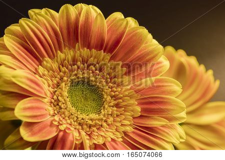 Close up of an orange Gerbera daisy on a soft background.