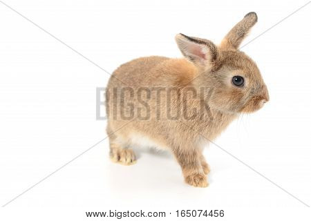 Little rabbit , isolated on white background