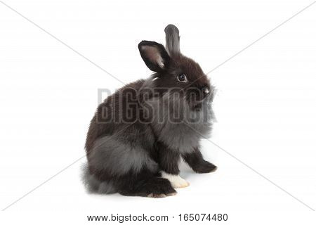 Black Hollands Lops Rabbits On White Background