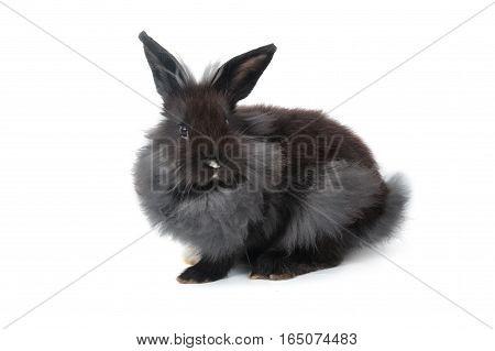 Black Hollands Lops Rabbits On White Background
