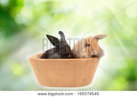 Cute Holland Lop Rabbits In Wooden Bowl