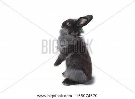 Cute Holland Lop Rabbit Standing Isolated On White