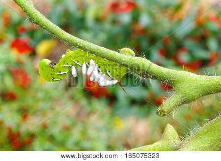 A Large Tobacco/Tomato Hornworm with parasitic braconid wasp eggs on it's back.  Hanging from a tomato plant as a pest who devours it.