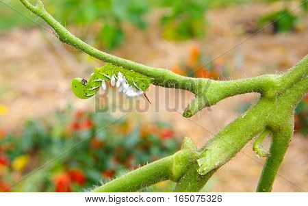 Unhappy Tobacco/Tomato Horn Worm as host to parasitic braconid wasp eggs on a Devoured Tomato Plant.