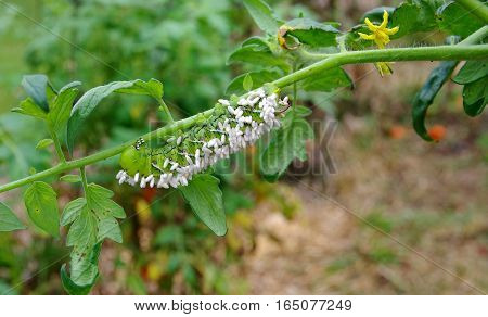 Death to a Tobacco/Tomato Horn Worm as parasitic braconid wasp eggs use it for a host. hosts