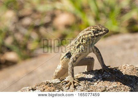 A side-blotched lizard suns itself on a rock.