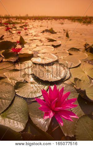 Thailand Isan Udon Thani Kumphawapi Lotus Lake