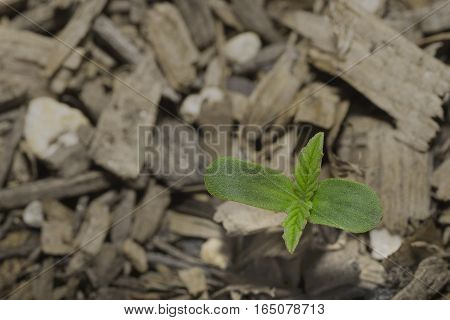 A Cannabis sprout shows its first real leaves.