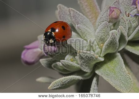 A ladybug is captured hunting for aphids on a White Sage.