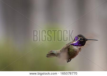 A Costa's Hummingbird is captured in flight.