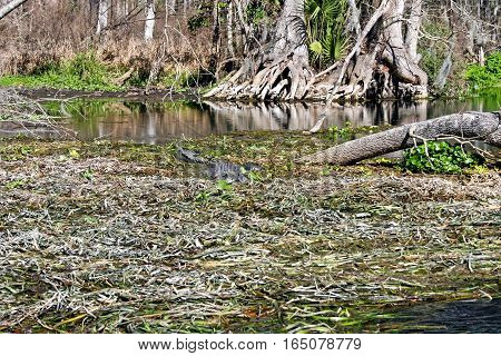 An alligator swimming through the waters of a swamp