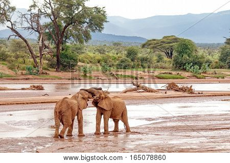 Two young elephant bulls play fighting at Samburu National Reserve Kenya