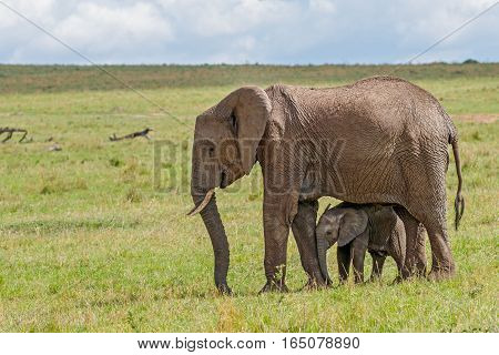 African Elephant and Calf at Masai Mara National Reserve Kenya