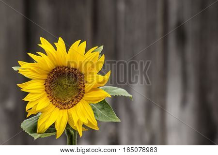 A sunflower shines brightly in the morning sun