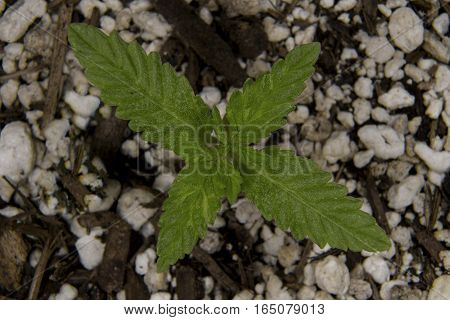 A Cannabis sprout grows in potting Soil