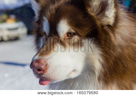 Beautiful Good Dog Malamute Looks Into The Distance