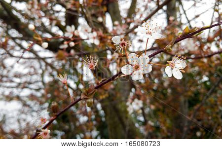 Small, pale cherry blossoms growing in early spring.