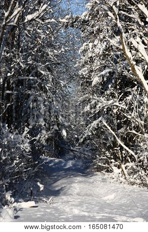 After a strong snowfall the thrown forest road and trees are covered by a layer of friable snow.