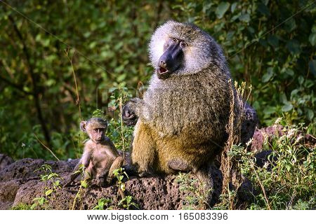 A wildlife capture of a Baboon with its infant. Jan 2017