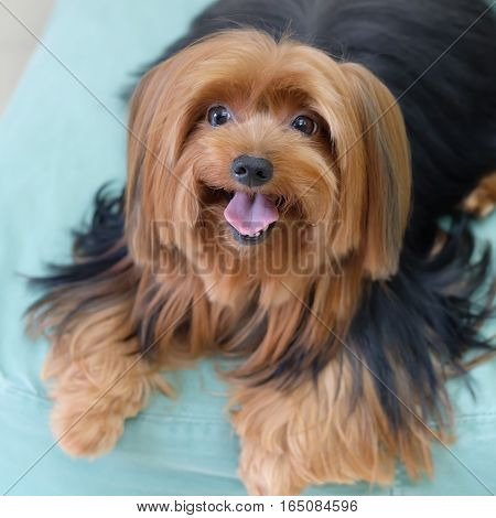 Yorkshire Terrier sitting on the bed  in the room