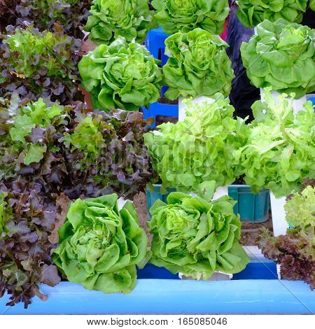 hydroponic salad vegetable in  the  big garden